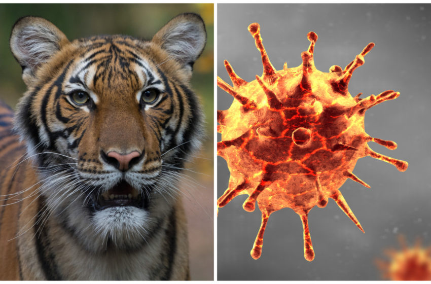 Tiger at New York's Bronx Zoo tests Positive for Coronavirus…..Corona Peechay Hi Par Gaya Ha!!