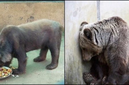 This Black Bear in Bahria Orchard Zoo Suffering from Zoochosis is Rescued