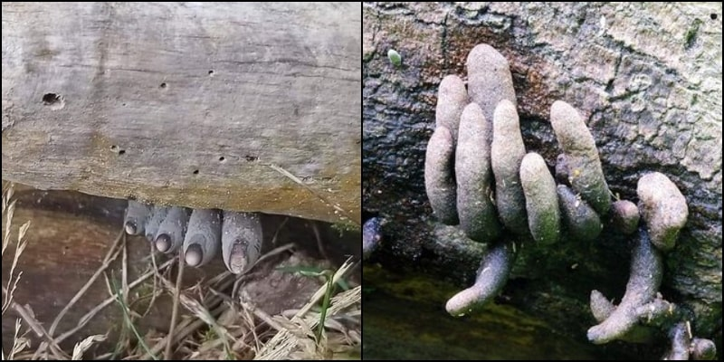This Dead-Man's Toes Peeking from Underneath Forest Log is making HORRIFYING Rounds on Social Media