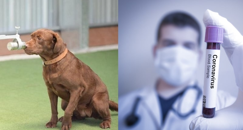 Research Approves Thai Sniffer Dog's 95% Accuracy in Detecting Covid from Human Sweat