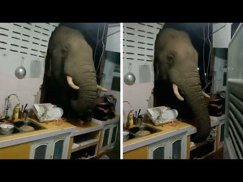WATCH: Elephant Breaks into Through Thai Family's Kitchen at Night